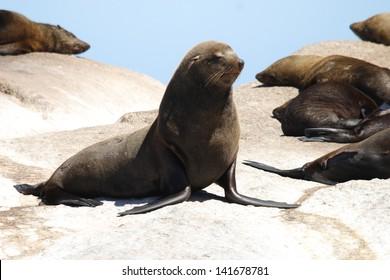 sea ??lion mammal aquatic coasts of south africa atlantic ocean seal hunter fish colony in Cape Town