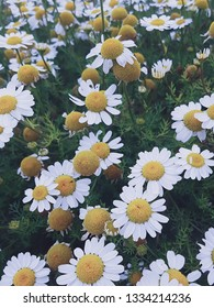 Sea mayweed daisy flowers. White, yellow and greeen colours.