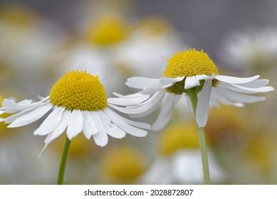 Sea Mayweed - Tripleurospermum maritimum, Closeup of two flowers