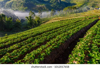sea of mist morning sunrise in strawberry farm array layer on hill at doi angkhang mountain, chiangmai, thailand