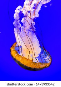 Sea Nettle - a genus, or category, of jellyfish.