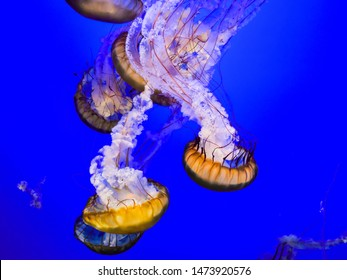 Sea Nettles - Sea Nettle is a genus, or category, of jellyfish.