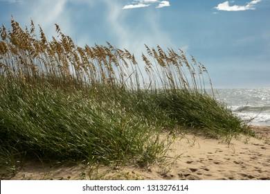 Sea oats along The beach Outer Banks NC.