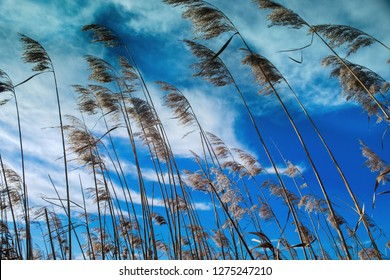 Sea oats blowing in the wind against a sunny blue sky with white clouds