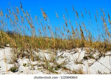 Sea Oats at the ocean beach sand dunes