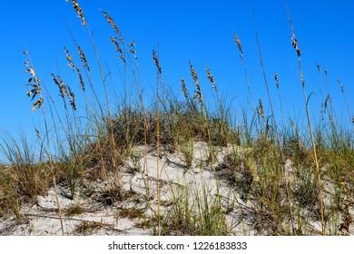 Sea Oats at the ocean beach sand dunes, Florida, USA