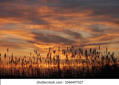 Sea oats in silhouette at sunrise.