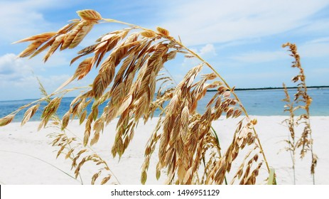 Sea Oats waving in the sea breeze (close-up)