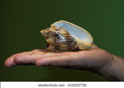 sea ​​snail on the palm, sea ​​snail in hand on a green background, snail in the palm, sea ​​snail shell, green background
