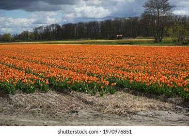 An sea of orange tulips field in The Netherlands