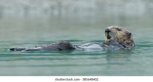 Sea otter at Alaska