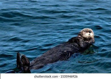 A sea otter with brown fur floating on its back with its paws on either side of its cute face in the waters off Seldovia, Alaska.