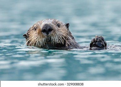 Sea otter close up