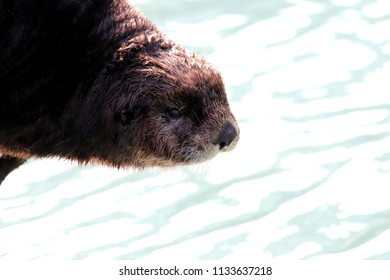Sea otter close-up in Whittier Alaska