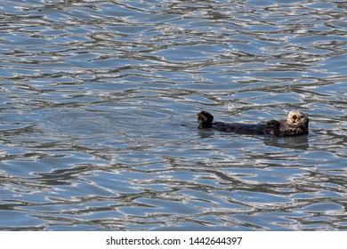 A sea otter doing the backstroke in Resurrection Bay of Kenai Fjords National Park in Alaska.