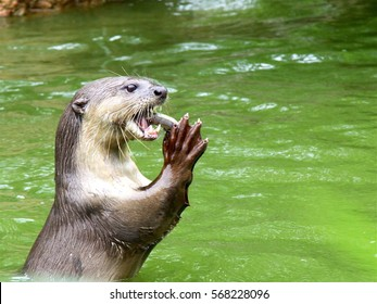 sea otter eating fish