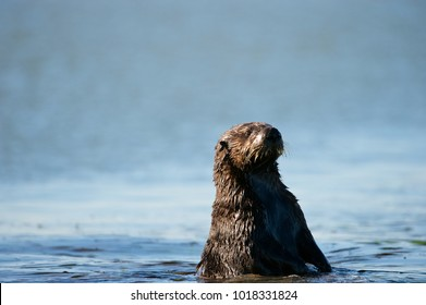 Sea otter (Enhydra lutris), Monterey Bay, California