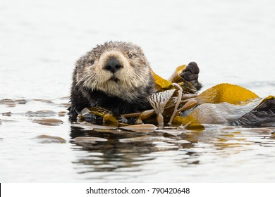 Sea Otter feeling relaxed