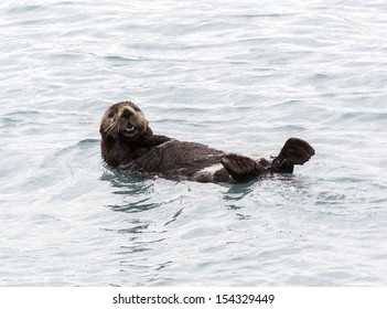 Sea Otter in Fjords Near Seward Alaska