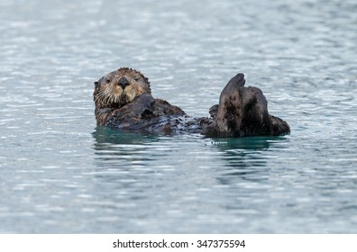 Sea otter floating in the ocean near Alaska
