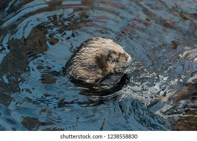 Sea otter floating in the water on its back and cleaning its fur