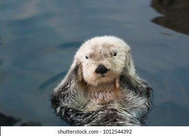 Sea otter floats on the back, close-up