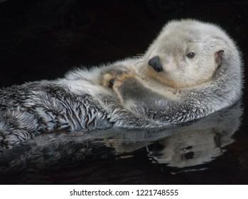 Sea  otter having a nap