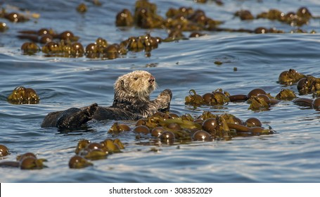 Sea Otter in Kelp Bed off Homer, Alaska