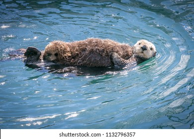 Sea otter mother and cub in Morro Bay California