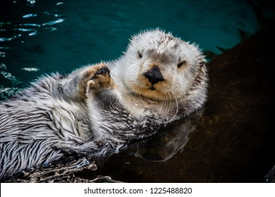 Sea Otter on his Back