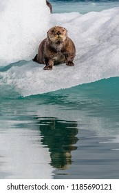 Sea Otter on icebergs from Columbia Glacier in Prince William Sound near Valdez Alaska