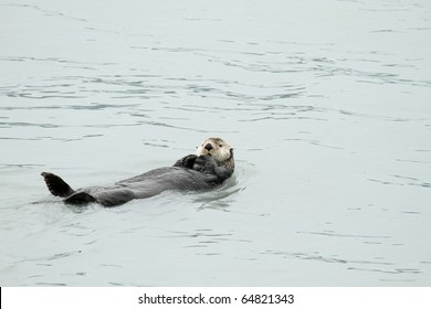 sea otter - pacific - alaska