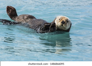 Sea otter playfully laying on back attentively looking at camera