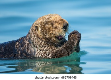 Sea Otter Pray in Alaska Kachemak Bay
