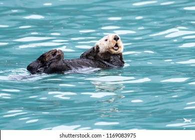 Sea Otter in Resurrection Bay near the Seward Harbor, Alaska