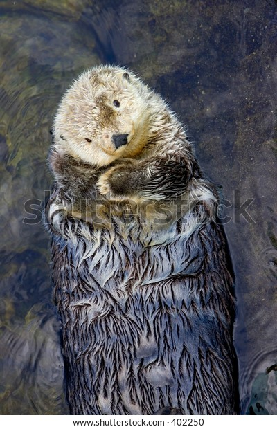 Sea otter swimming