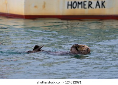 A sea otter swimming on the back in Homer, Alaska
