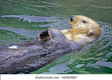 Sea Otter swimming on its back