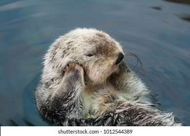 Sea otter swims on the back