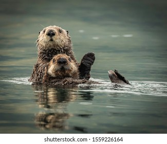 Sea Otters in Kodiak Alaska