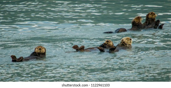 Sea otters near Seward in Prince William Sound, Alaska
