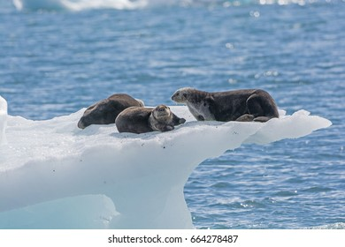 Sea Otters on an Ice Berg in Prince William Sound by the Columbia Glacier in Alaska