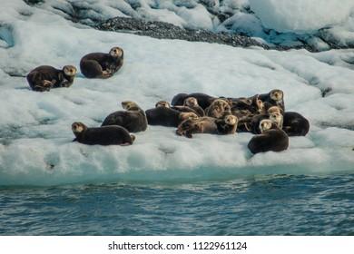 Sea otters resting on ice floe in Prince William Sound, Alaska