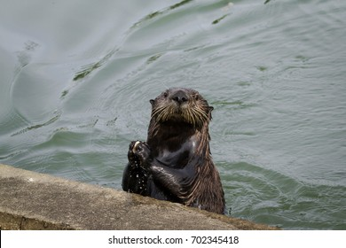 Sea otters are very clever sea mammals and will use a rock, a bottle or as this industrious otter did, use the side of a concrete pier to crack open a clam.