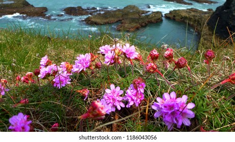 Sea Pink on a Cornish Cliff-top