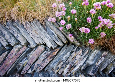 Sea Pink wild flowers a.k.a thrift growing from a typical and traditional cornish wall constructed from slate and granite in a herringbone style.