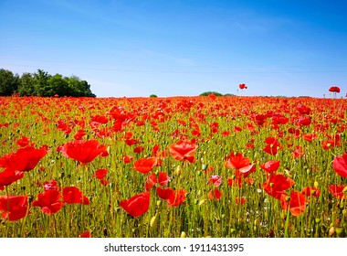 A sea of poppies in the beautiful border