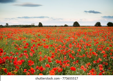 A sea of poppy's in a field with nice detail in the sky and trees in the distance.