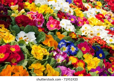 a sea of primroses