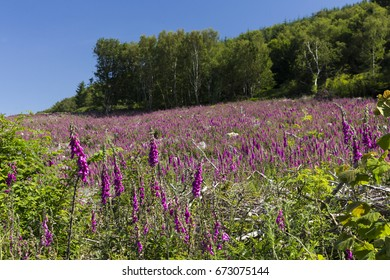 A sea of purple as foxgloves cover a hill recently felled woodland in Southwick, Dumfries and Galloway, Scotland.